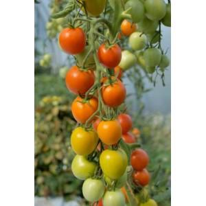 Tomat 'Auriga'