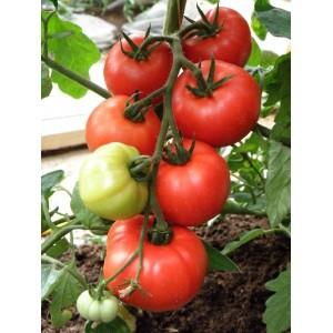 Tomat 'Erk'