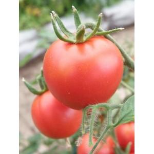 Tomat 'Terma'
