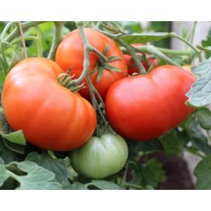 Tomat 'Koit'