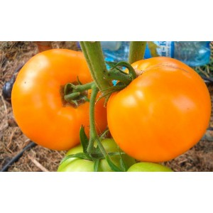 Tomat 'Apelsini'