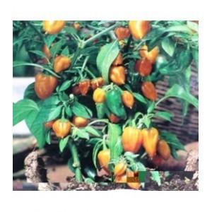 Paprika `Sweet Orange Baby`