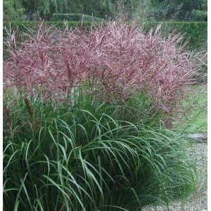 miscanthus sinensis 39 ferner osten 39 hiina siidp ris. Black Bedroom Furniture Sets. Home Design Ideas