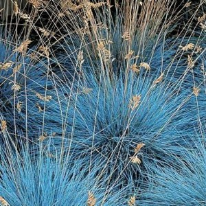 Festuca glauca 'Blue Select' / Hall aruhein 'Blue Select' ('Blue Auslese')