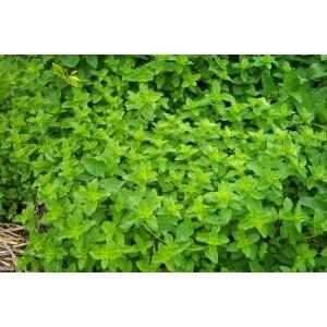 Origanum vulgare / Harilik pune (oregano)