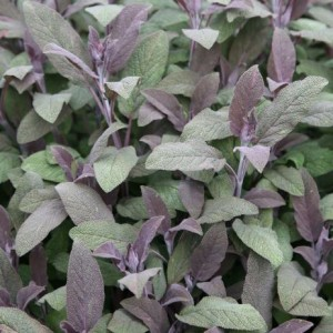 Salvia officinalis 'Purpurascens' / Aedsalvei 'Purpurascens'
