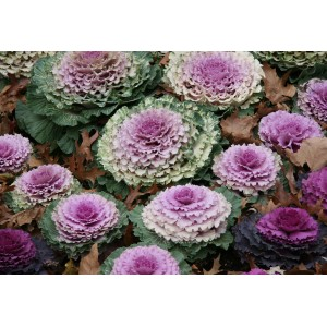 Brassica oleracea  var. acephala / Ilukapsas segu