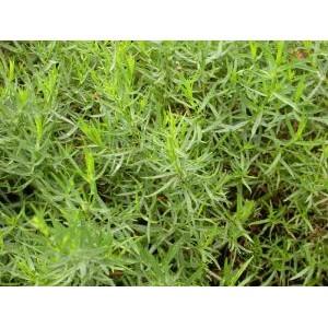 Artemisia dracunculus / Estragon