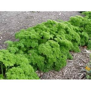 Petroselinum crispum var. crispum / Kähar petersell
