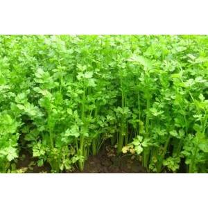 Apium graveolens var. secalinum / Lehtseller
