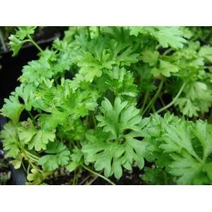 Petroselinum crispum var neapolitanum / Lehtpetersell