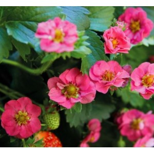 Fragaria x ananassa 'Summer Breeze Rose'  / Rippmaasikas 'Summer Breeze Rose'