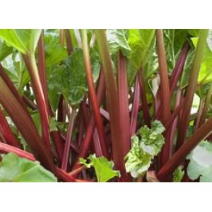 Rheum rhaponticum  / Harilik rabarber