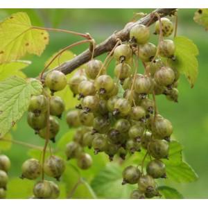 Ribes nigrum L. 'Vertti' / Must sõstar 'Vertti'