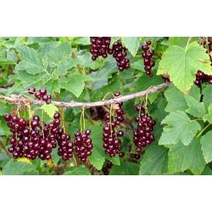 Ribes rubrum 'Viksnes' / Punane sõstar 'Viksnes'