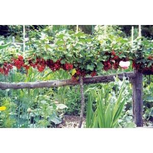 Ribes rubrum 'Jonkheer van Tets' / Punane sõstar 'Jonkheer van Tets' tüvivorm
