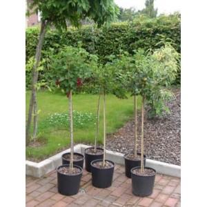 Ribes nigrum 'Titania' / Must sõstar 'Titania' tüvivorm