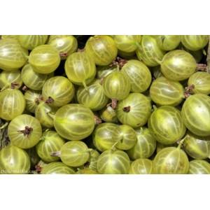 Ribes uva-crispa 'Hinnomäe Kollane' / Aed-karusmari 'Hinnomäe Kollane'