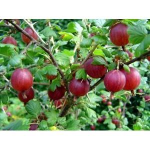 Ribes uva-crispa 'Hinnomäe punane' / Aed-karusmari 'Hinnomäe punane'