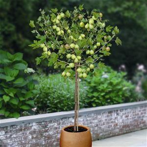 Ribes uva-crispa 'Hinnomäe punane'  / Aed-karusmari 'Hinnomäe punane' tüvivorm