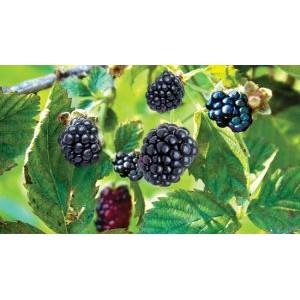 Rubus fruticosus 'Black Satin' / Pampel e. aedmurakas 'BlackSatin'