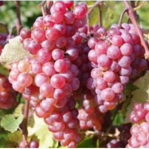 Vitis 'Somerset Seedless' / Viinapuu 'Somerset Seedless'