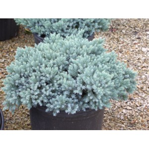 Juniperus squamata 'Blue Star' / Kirju kadakas 'Blue Star'