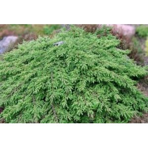 Juniperus communis 'Green Carpet' / Harilik kadakas 'Green Carpet'