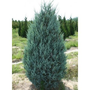 Juniperus scopulorum 'Moonglow' / Kaljukadakas 'Moonglow'