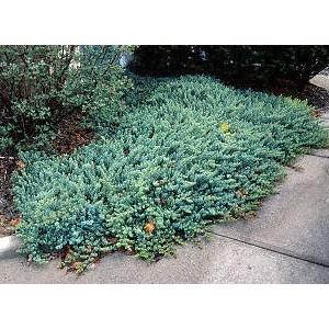 Juniperus conferta 'Blue Pacific' / Randkadakas 'Blue Pacific'