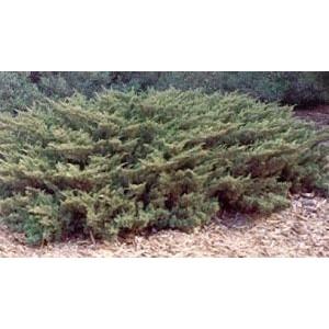 Juniperus sabina 'Tamariscifolia' / Sabiina kadaka 'Tamariscifolia'