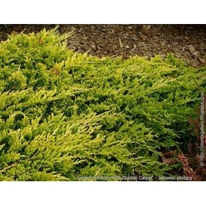 Juniperus horizontalis 'Golden Carpet' / Roomav kadakas 'Golden Carpet'