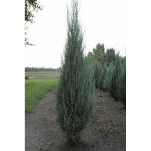 Juniperus scopulorum 'Blue Arrow' / Kaljukadakas 'Blue Arrow'
