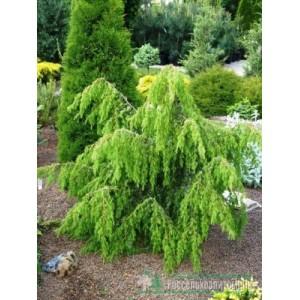 Juniperus communis 'Horstmann' / Harilik kadakas 'Horstmann'