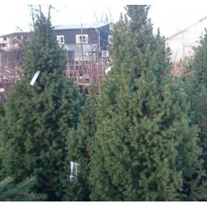 Picea glauca 'Conica' / Kanada kuusk 'Conica'