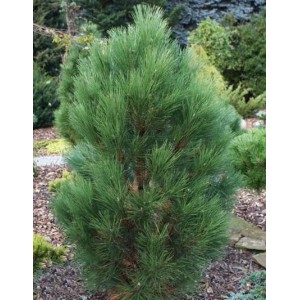 Pinus nigra 'Green Rocket' / Must mänd 'Green Rocket'