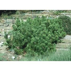 Pinus mugo var. mughus / Lookjas mägimänd