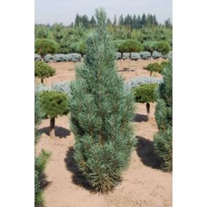 Pinus sylvestris 'Fastigiata' / Harilik mänd 'Fastigiata'