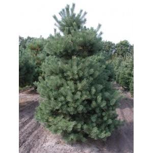 Pinus sylvestris 'Norske Typ' / Harilik mänd 'Norske Typ'