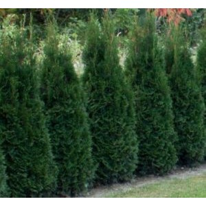 Thuja occidentalis 'Dark Embers' / Harilik elupuu 'Dark Embers'