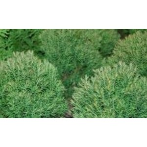 Thuja occidentalis 'Teddy' / Harilik elupuu 'Teddy'