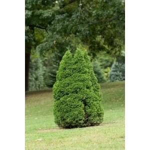 Thuja occidentalis 'Holmstrup' / Harilik elupuu 'Holmstrup'