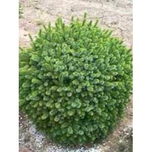 Picea omorika'Karel' / Serbia kuusk 'Karel'
