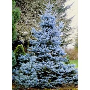 Picea pungens 'Hoopsii' / Torkav kuusk 'Hoopsii'