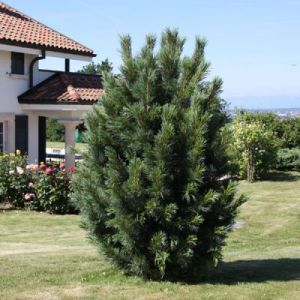 Pinus cembra'Compacta Glauca' / Alpi seedermänd'Compacta Glauca'