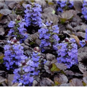 Ajuga reptans 'Black Scallop' / Roomav akakapsas 'Black Scallop'