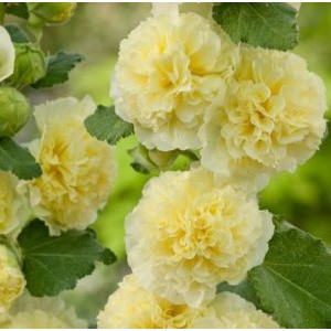 Alcea rosea 'Chaters Yellow' / Harilik tokkroos 'Chaters Yellow'