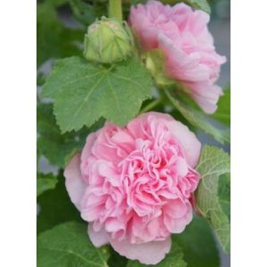 Alcea rosea 'Chaters Double Rose' / Harilik tokkroos 'Chaters Double Rose'