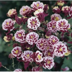 Aquilegia vulgaris 'Winky Double Red & White' / Harilik kurekell 'Winky Double Red & White'