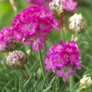 Armeria maritima Abbey 'Deep Rose' / Harilik merikann Abbey 'Deep Rose'
